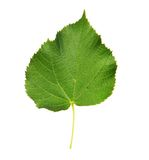 Linden leaf with the veins. Isolated on white Royalty Free Stock Photography