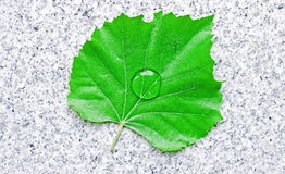 Linden leaf Stock Photography