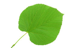 Linden leaf  on white background Stock Photography