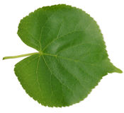 Linden leaf. On a white background Stock Photos