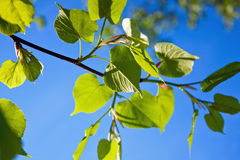 Linden leaves Stock Photography