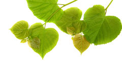 Linden leaves Royalty Free Stock Image