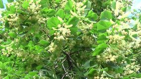 Linden leaves and flowers blowing. Panorama from tree to sky. Tilia. stock video