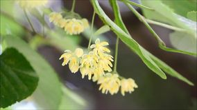 Linden leaves and flowers stock video footage