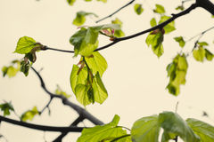 Linden leaves Royalty Free Stock Images
