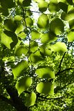 Linden leaves Royalty Free Stock Photo
