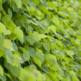 Linden leaves Royalty Free Stock Photos