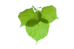 Linden leaves. Isolated leaves of a linden tree Stock Images