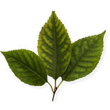 Linden leaves Stock Photo
