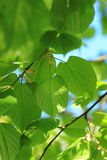 Linden leaves Royalty Free Stock Photography