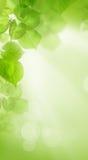 Linden Leaves på abstrakt sommartapetbakgrund Fotografering för Bildbyråer