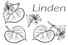 Linden Leaves Pictogram Set Fotografia Stock Libera da Diritti