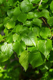 Linden leaves. Linden, Small-leaved Lime (Tilia cordata) leaves Royalty Free Stock Photos