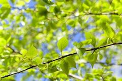 Linden leaves, spring Stock Images