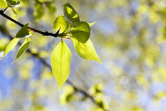 Linden leaves, spring Royalty Free Stock Photography
