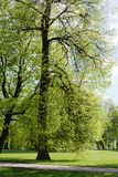 A linden in a park Royalty Free Stock Images