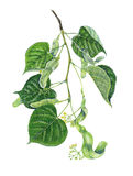 Linden's branch. A realistic illustration showing a branch of linden (Tilia hybrida) with leaves and flowers Stock Image