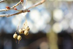 Linden Seeds 2 Arkivfoto