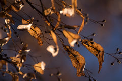 Linden seeds with wing leaves in autumn on the tree against a bl Stock Image