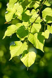Linden, Small-leaved Lime Stock Image