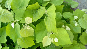 Linden sprouts_2 Foto de Stock