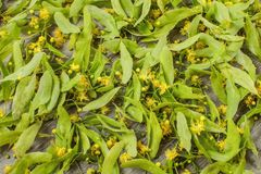 Linden Tilia platyphyllos flowers being dried for herbal tea. royalty free stock image