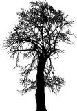 Linden Tree. Silhouette old linden tree winter, vector illustration Stock Photography