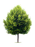 Linden tree Royalty Free Stock Photo