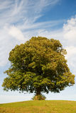 Linden tree. On a hill stock photo