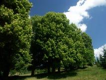 Linden-tree stock photo
