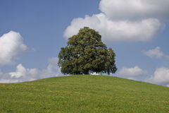 Linden Tree. An huge old linden Tree on a little hill in the summertime Royalty Free Stock Image