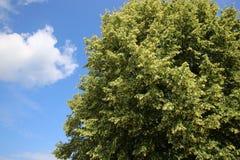 Linden Tree Imágenes de archivo libres de regalías
