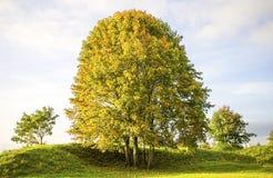 Linden Tree Immagini Stock Libere da Diritti