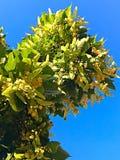 Linden Tree Fotografía de archivo