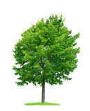 Linden Tree Arkivfoto
