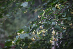 Linden Tree Royaltyfria Bilder