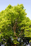 Linden Tree. Very large old Linden Tree stock photos
