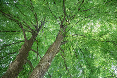 Linden Tree Foto de Stock Royalty Free