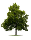 Linden tree. Leafy Linden tree isolated on white background Stock Photo