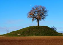 A Linden tree, also called lime tree or tilia, on top of a small green hill with a field plowed around. A Linden tree, also called,lime tree or tilia, on top of royalty free stock photography