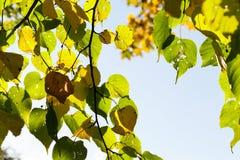 Linden tree in autumn stock photos