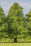 Linden Tree Stock Photography
