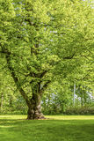 Linden Tree. Beautiful old linden tree in the springtime landscape Royalty Free Stock Photos