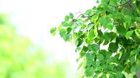 Linden tree in bloom close up stock video footage