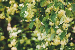 Linden Tree blossom stock image