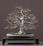 Linden tree bonsai stock photos