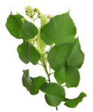 Linden tree branch Royalty Free Stock Photography