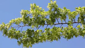 Linden tree branch over sky stock footage