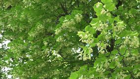 Linden tree branches full of flowers blooms move in wind. 4K. Linden tree branches full of flowers blooms move in wind. Focus change shot. 4K stock video footage