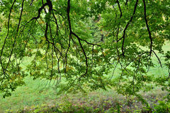 Linden tree branches Royalty Free Stock Image